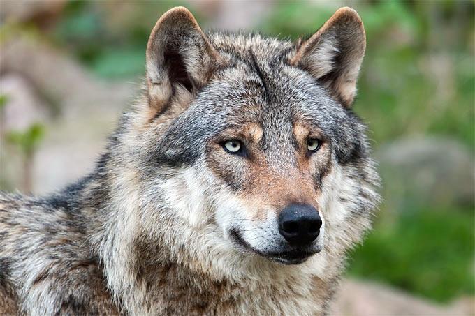 Info-Abend zum Thema Wolf am 08.04.2016